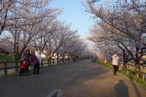 桜ライトアップ大阪寝屋川質屋まるぜん